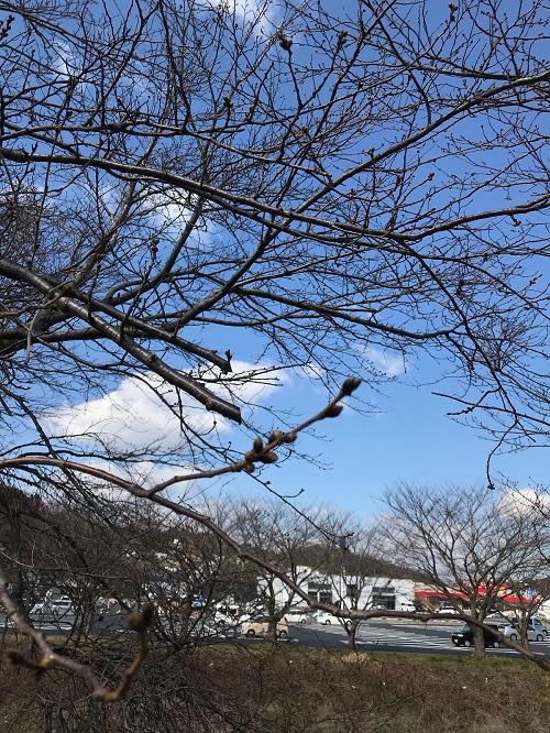 お店裏の桜の木