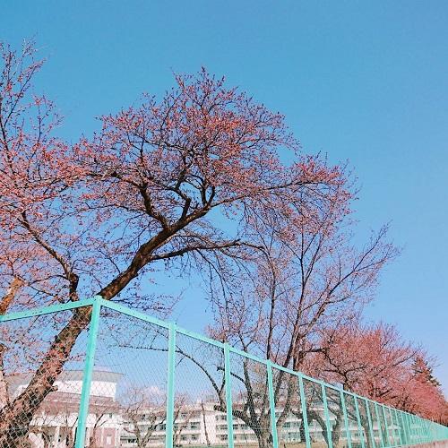 喜多方の桜