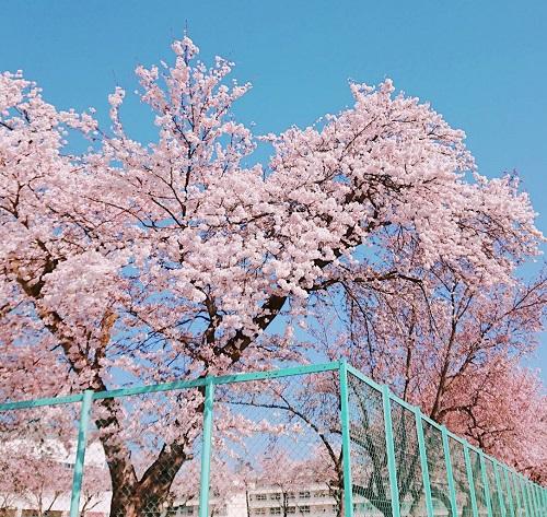 喜多方東高校の桜